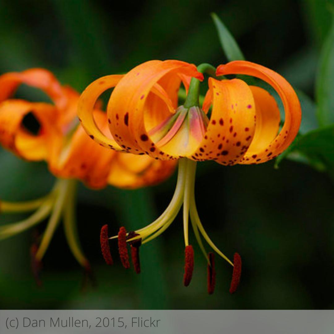Michigan Lily