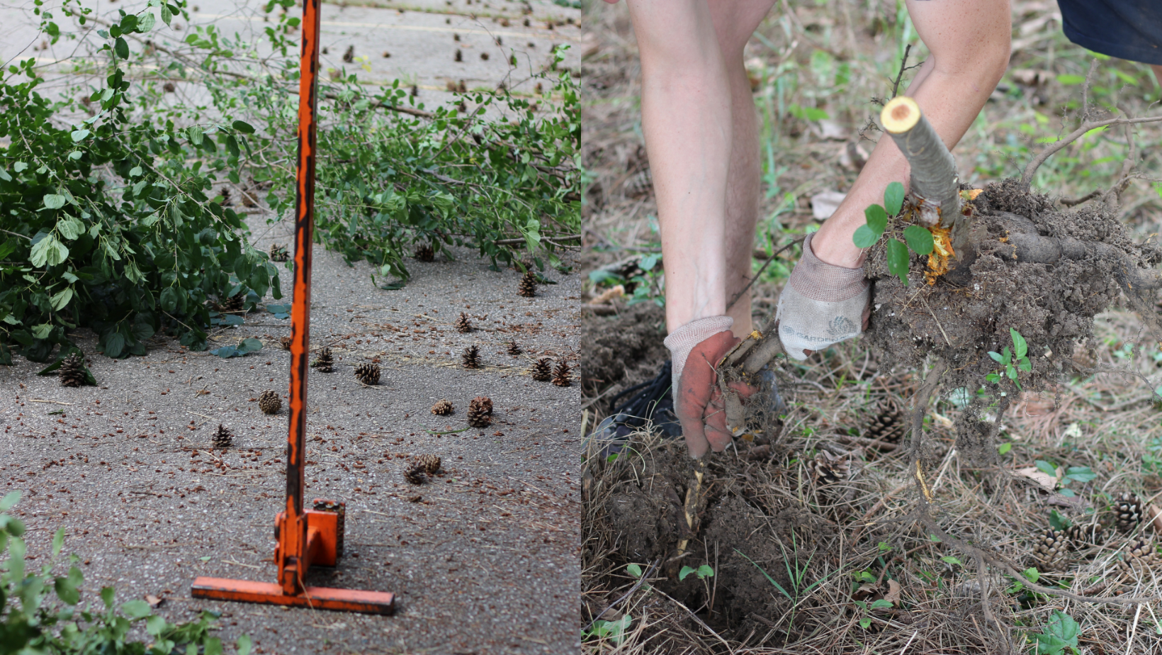 On left: Weed Wrench. On right, Justin Steinburg removing a buckthorn plant at the Siloam United Church location.
