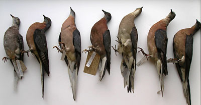 Passenger Pigeon, 4