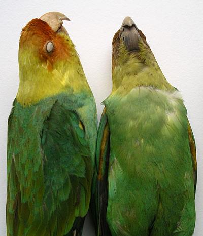 Carolina Parakeet, 2