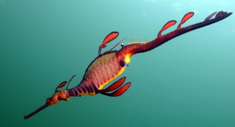 Seadragon-CFaulds_crop.jpg