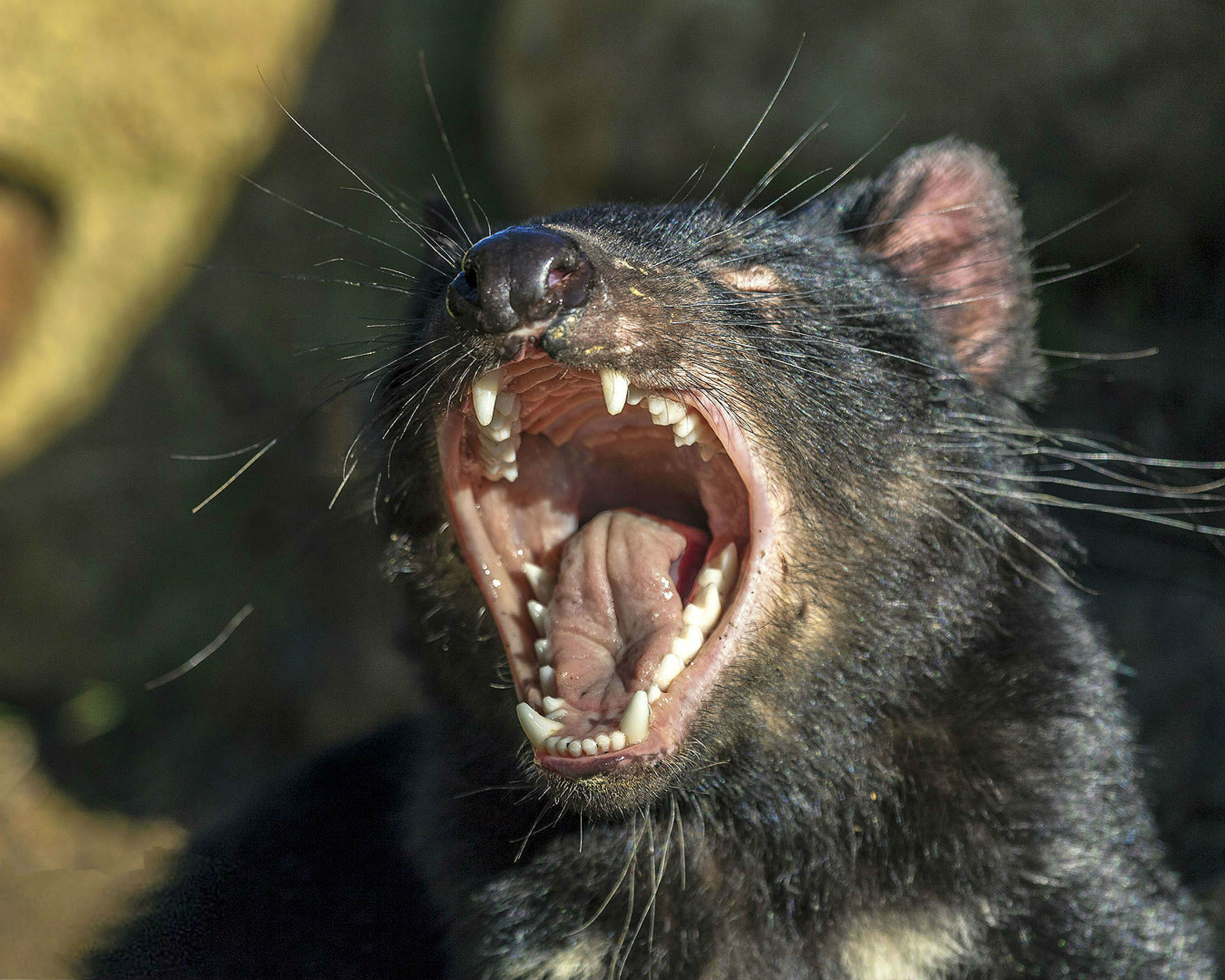Tassie_Devil_open_mouth_henrih_56.jpg