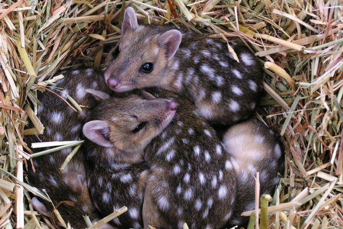 eastern_quoll.jpg