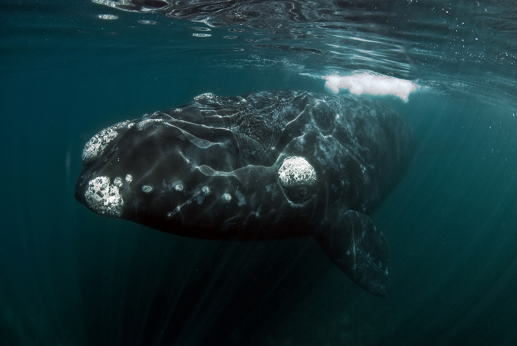 Southern_Right_Whale_Tomas_Kotouc.SMALL.jpg