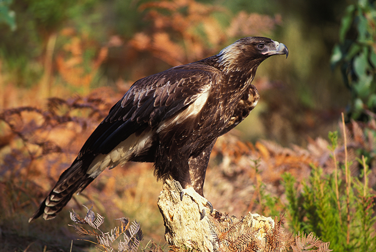 Wedge-tailed_eagle_-_Rob_Blakers.jpg