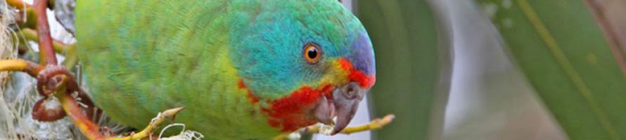 banner-swift-parrot.jpg