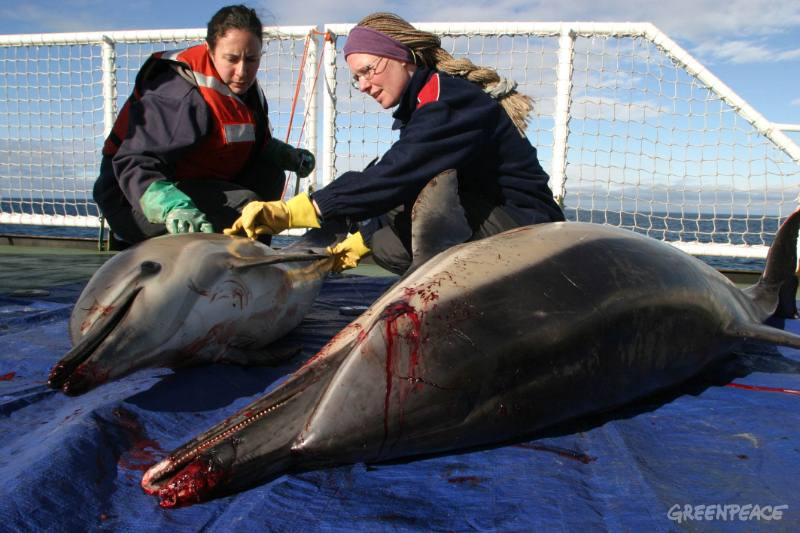 dolphin-killed-by-pair-trawlin-3_2.jpg