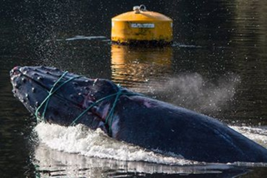 A juvenile humpback caught in aquaculture debris in BC last year. Aquaculture and entanglement in marine debris, are listed as clear threats to endangered Southern Right Whale in the Commonwealth Conservation Management Plan for the species