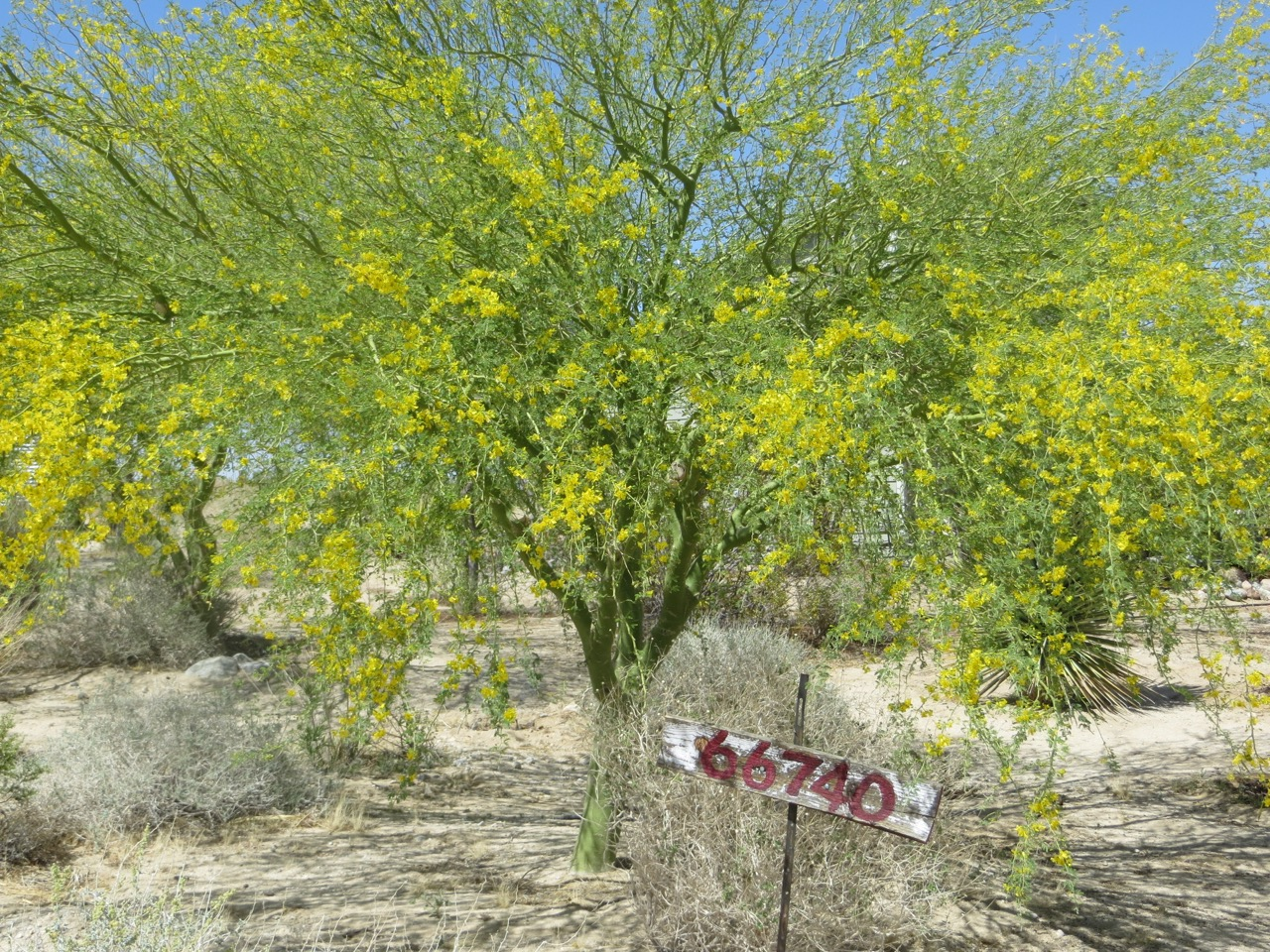 DWLT_18_CArl's_palo_verde_with_sign.jpg