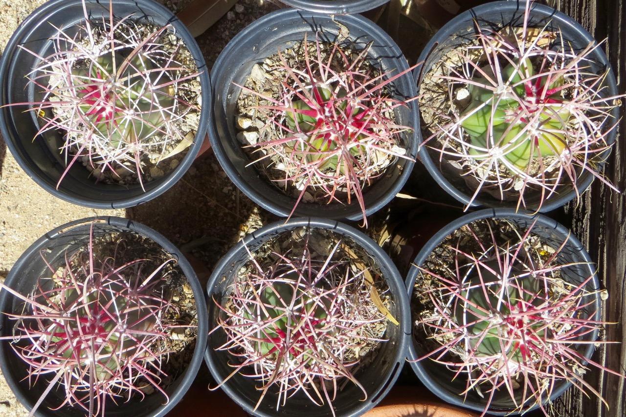 DWLT_18_Carl's_6_cactus_in_pots.jpg