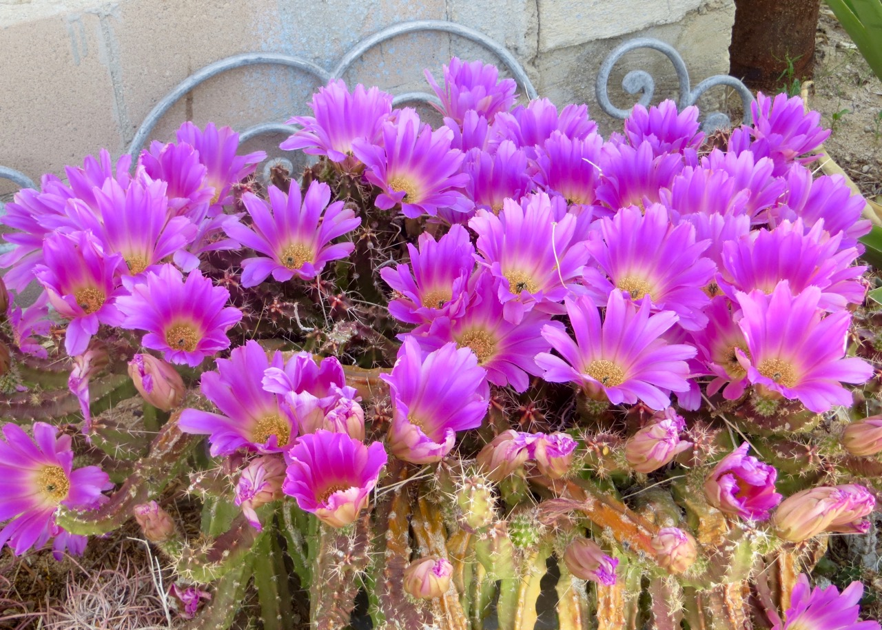 DWLT_18_Carl's_magenta_cactus_cluster.jpg