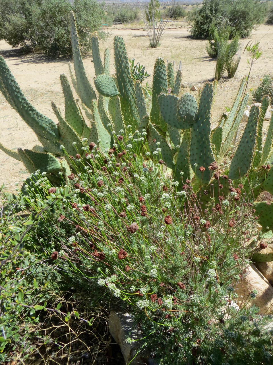 DWLT_18_Pfanner_cactus_and_buckwheat.jpg