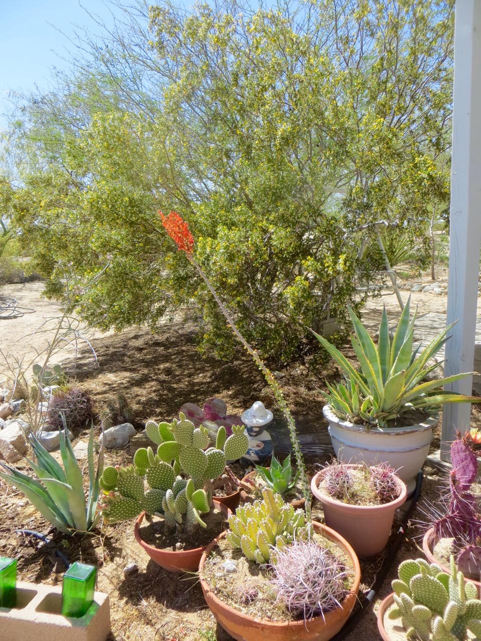 DWLT_18_Carl's_cactus_in_pots_(1).jpg