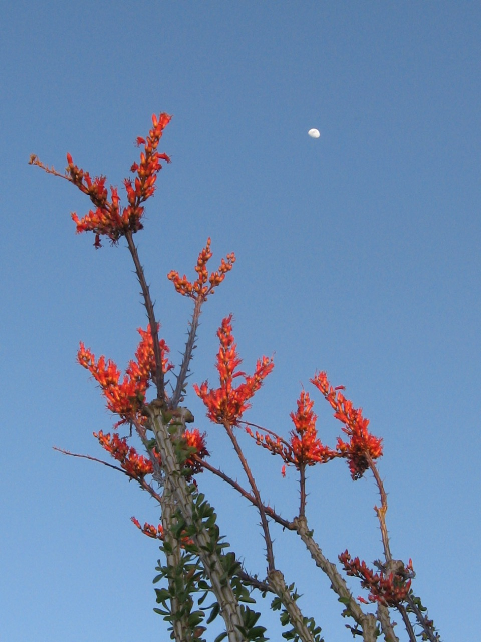 ocotillo_and_moon.jpg