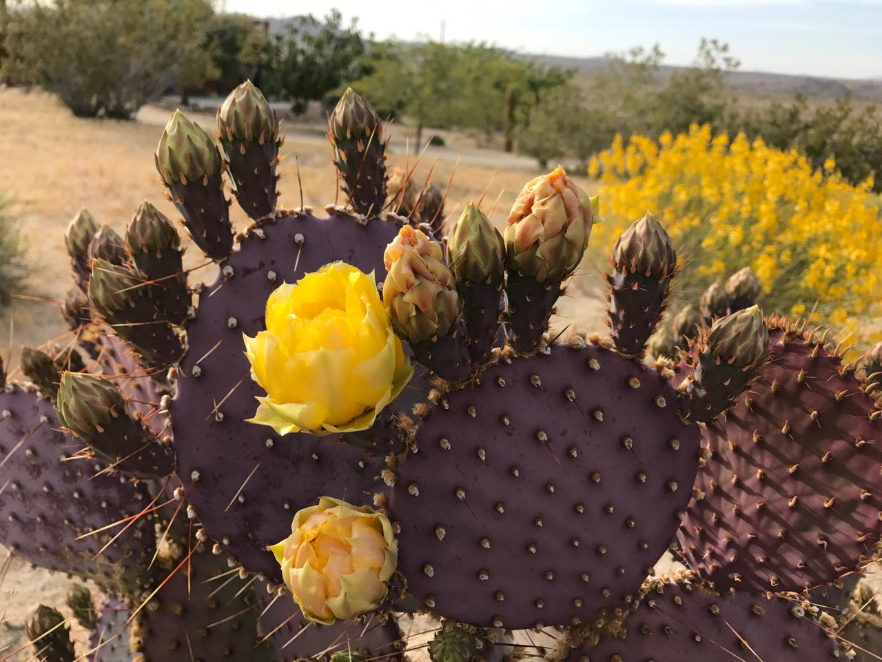 purple_cactus_yellow_bloom.jpg