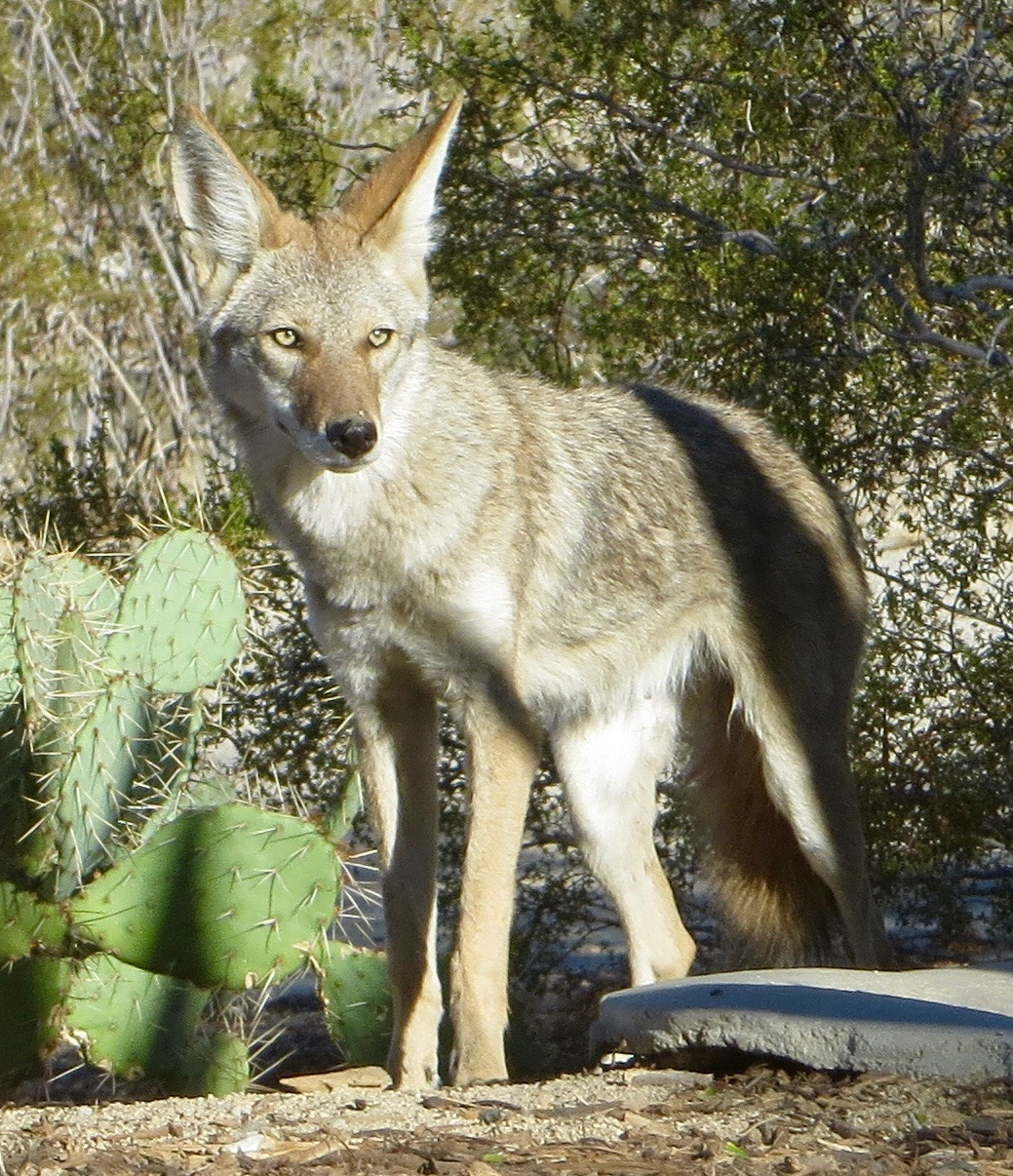 coyote_in_yard.jpg