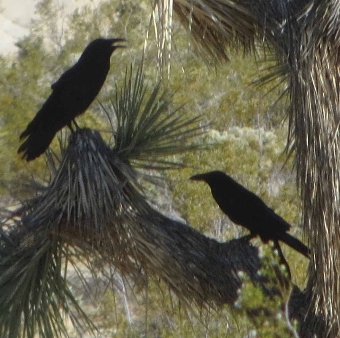 2_ravens_in_joshua_tree.jpg