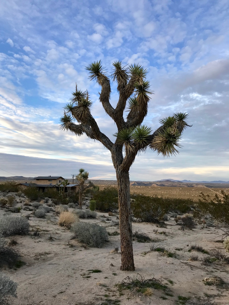 JOSHUA_tree_and_sky.jpg