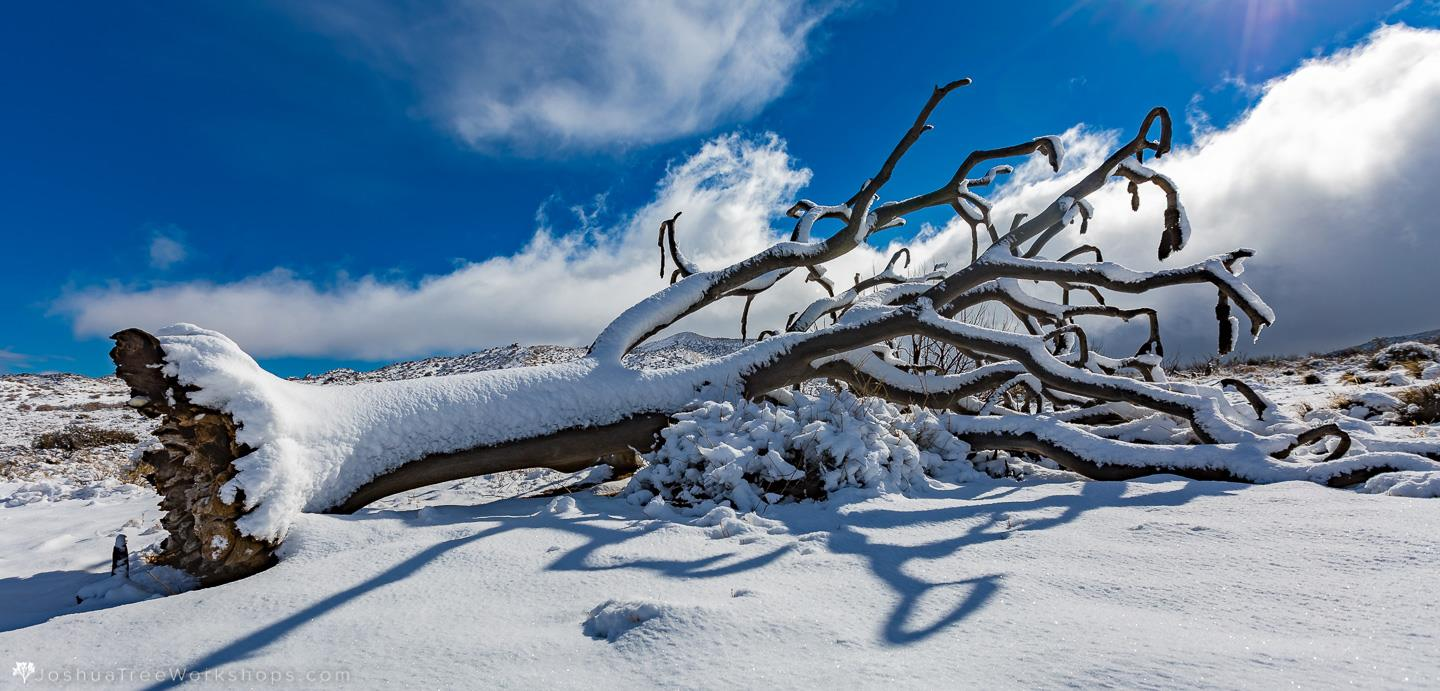 snowy landscape shows fallen Joshua tree, photo by Casey Kiernan