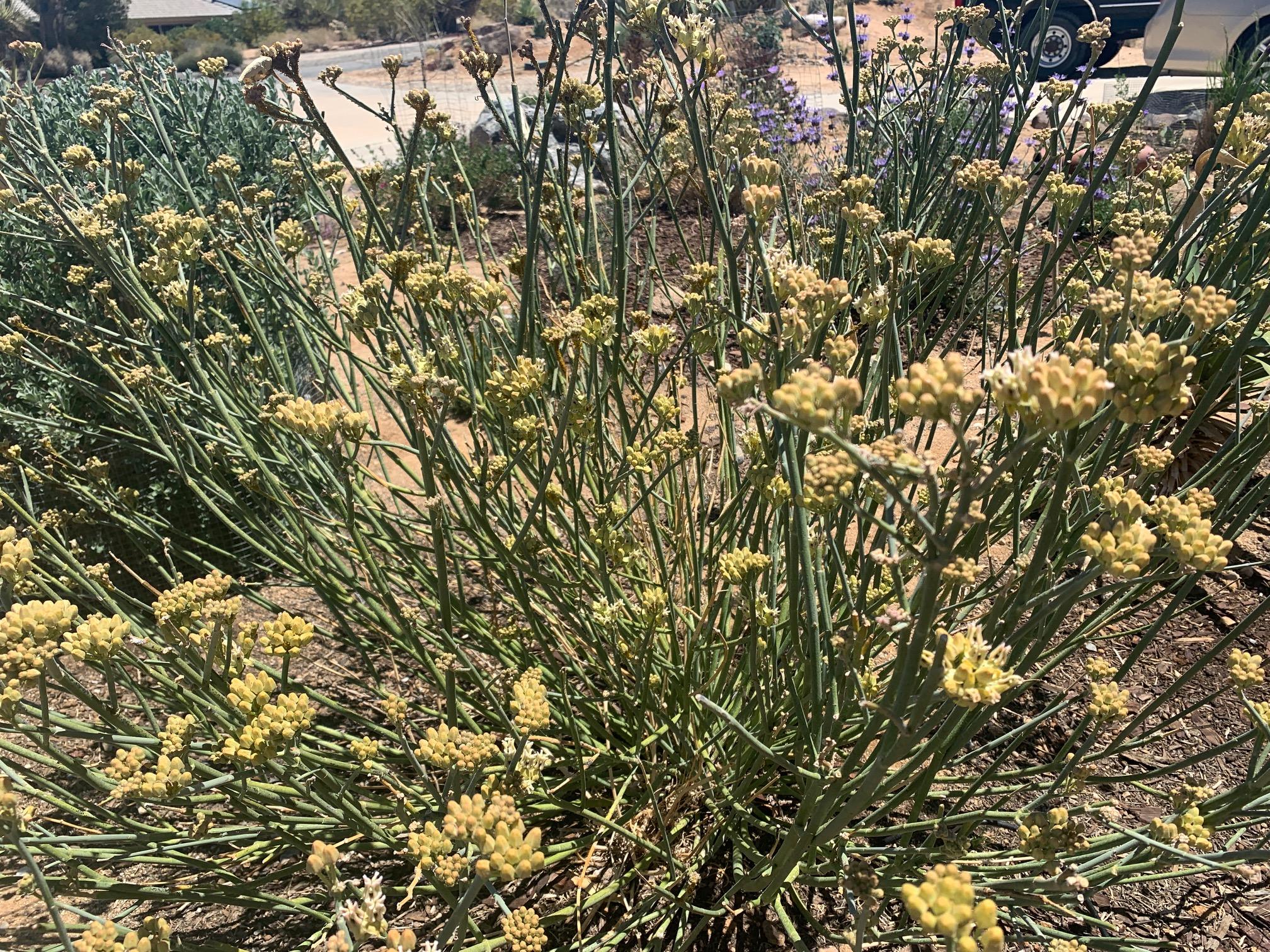 flowering desert milkweed