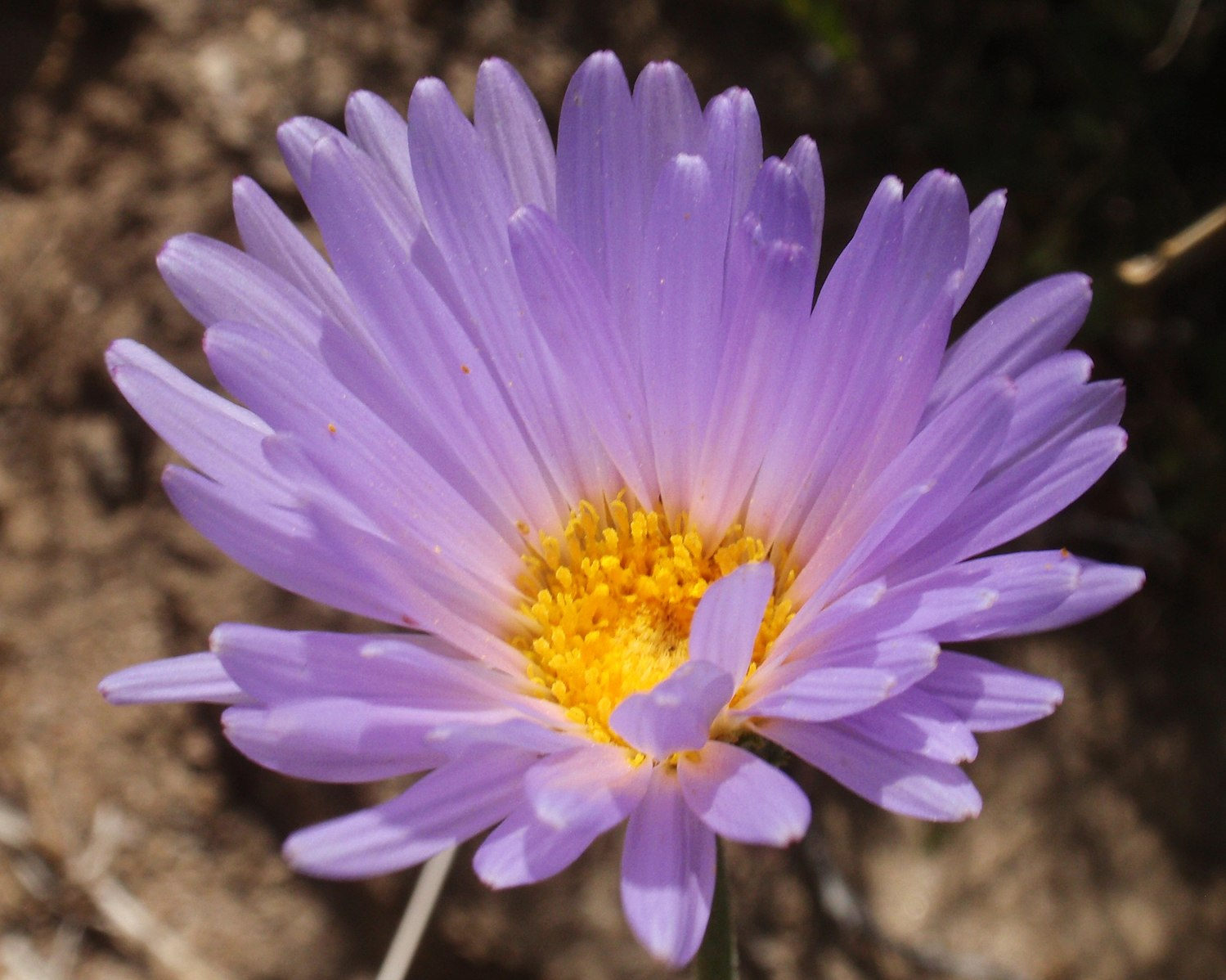 mojave aster creative commons image