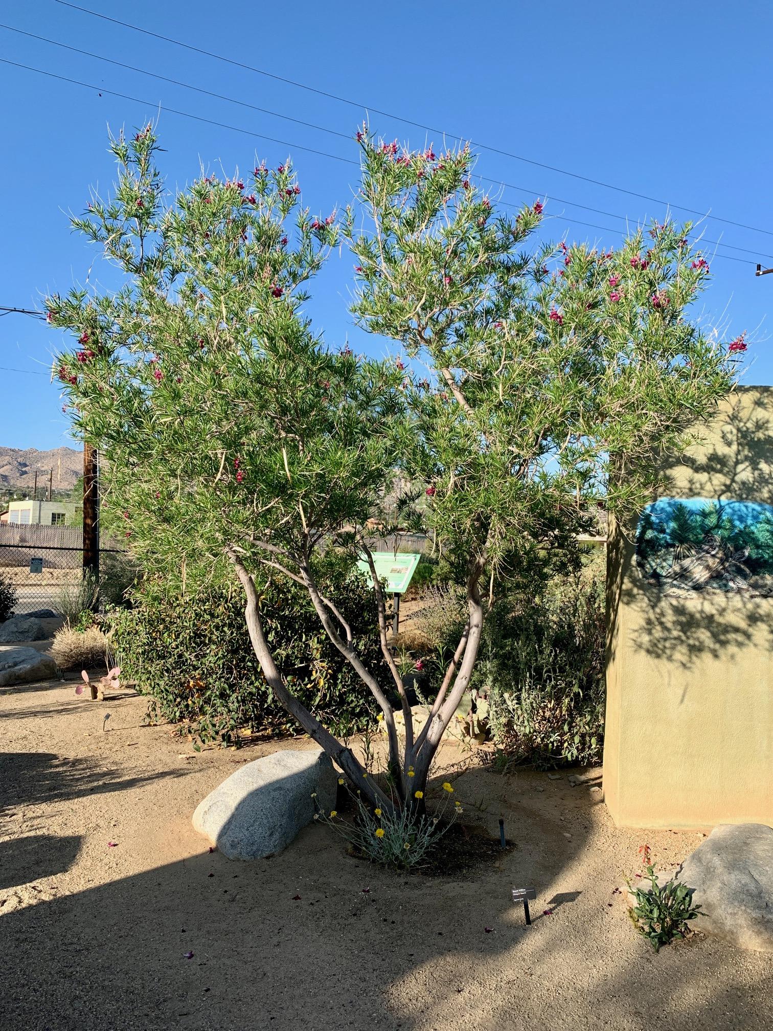 Desert Willow tree in public garden