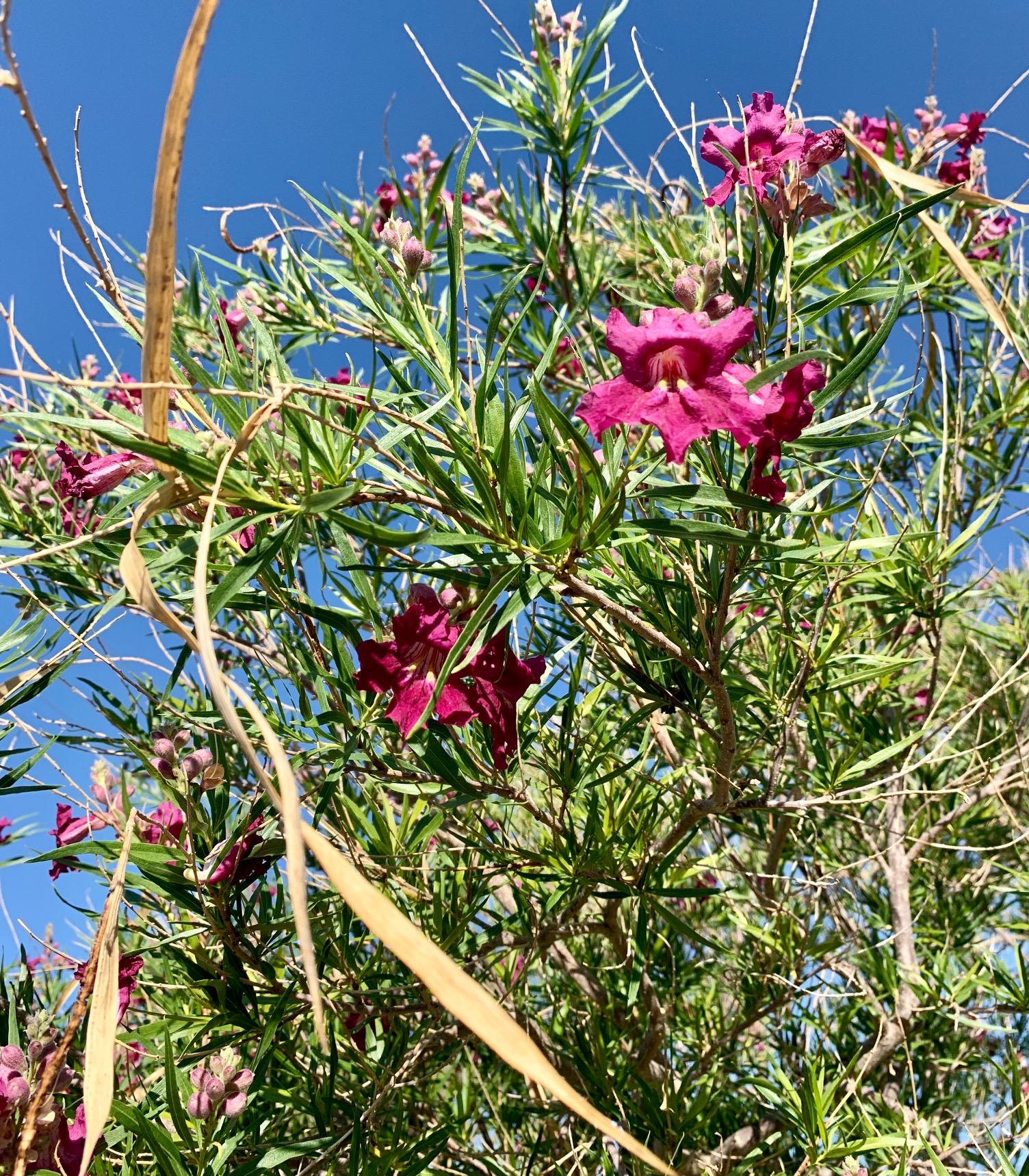 close up of Desert Willow tree