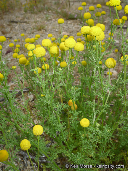 stinknet, an invasive plant