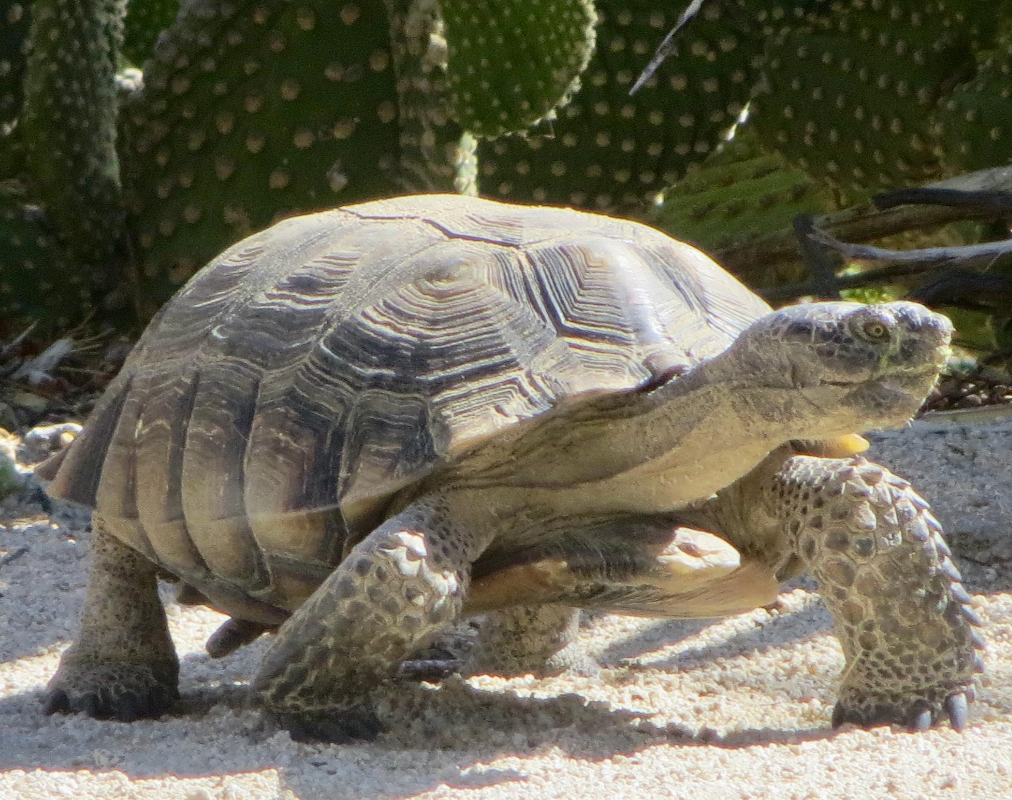 tortoise_in_yard2.jpeg