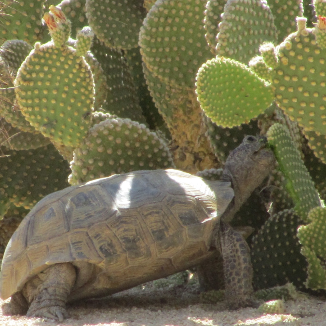 tortoise_eating_cactus_02.jpg