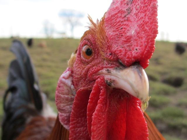 chicken-647226_640.jpg