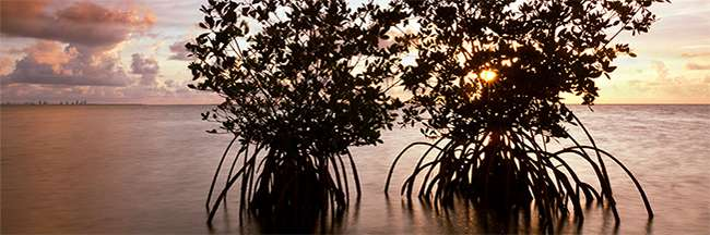 mangroves-650x216.jpg