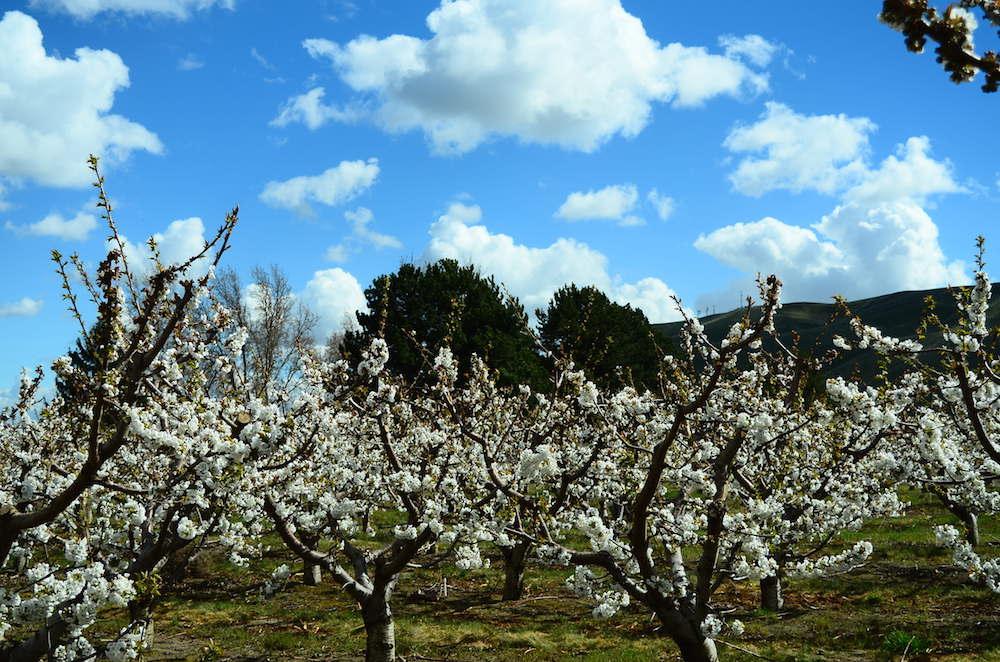 Cherry-Orchard-SE-WA.jpg