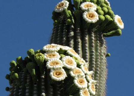 cactus_bloom.JPG