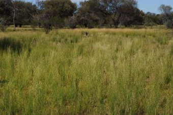 Nallan_Station_grasses_recovery_pic_by_Michael_Clinch.jpg