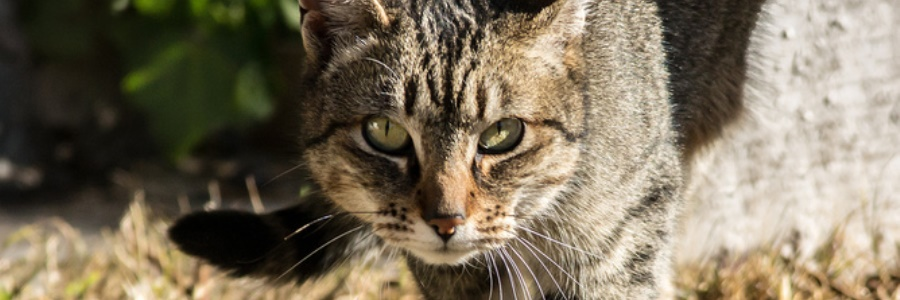 Feral feast: cats kill hundreds of Australian animals