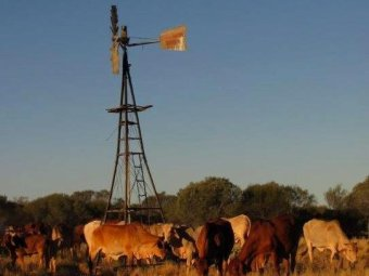 Nallan_Station_cattle_and_windmill_pic_by_Michael_Clinch.jpg