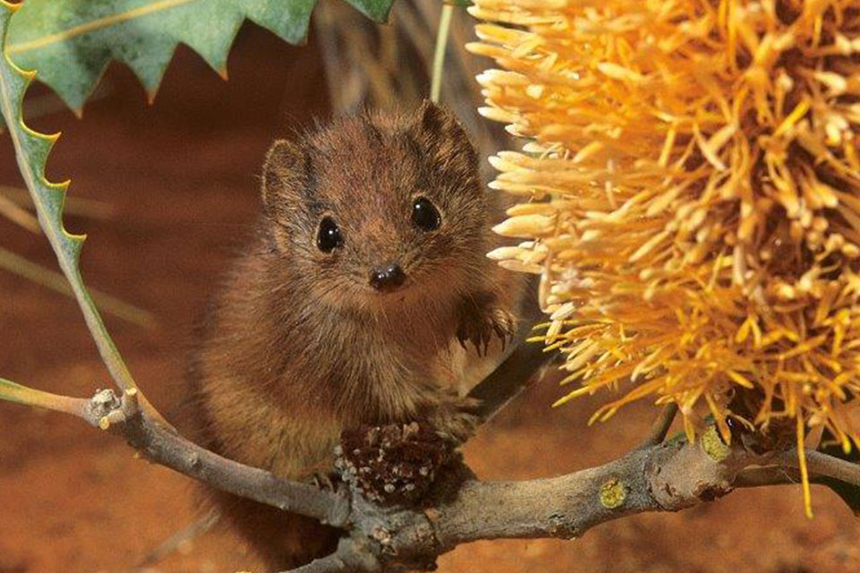 Little Red Kaluta, found on proposed national parks in the Pilbara (photographer Jiri Lochman)