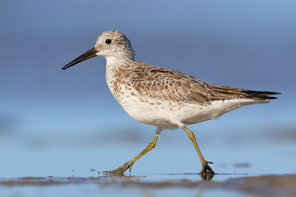 Great Knot, an internationally protected migratory bird found at some of the proposed parks (photographer Georgina Steytler)