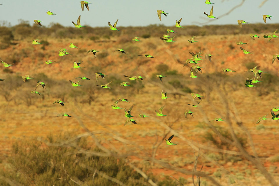 Budgerigars at ex Muggon, near Wooleen (photographer David Blood)