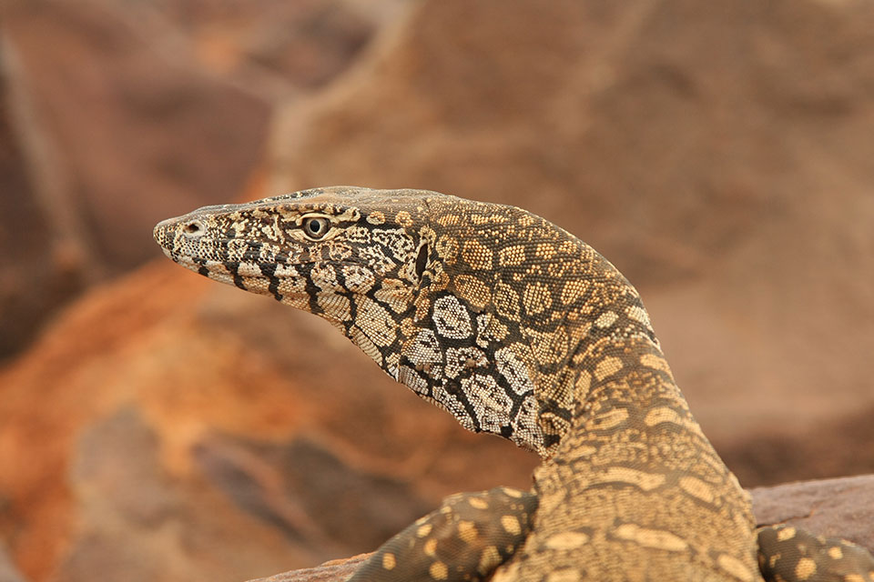 Perentie lizard, Mount Augustus to Mulga (photographer David Blood)