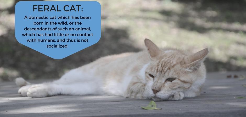 Feral_cat_definition-4.jpg