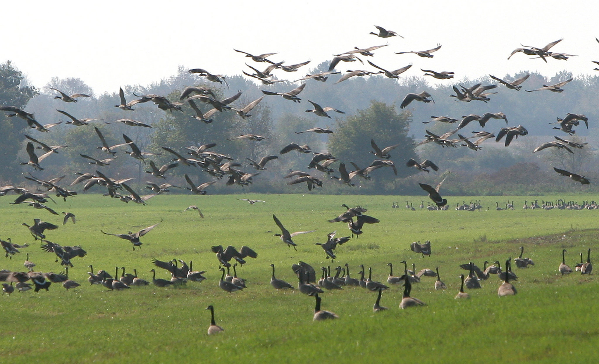 todd-farm-geese-c156a054285f1a21.jpg