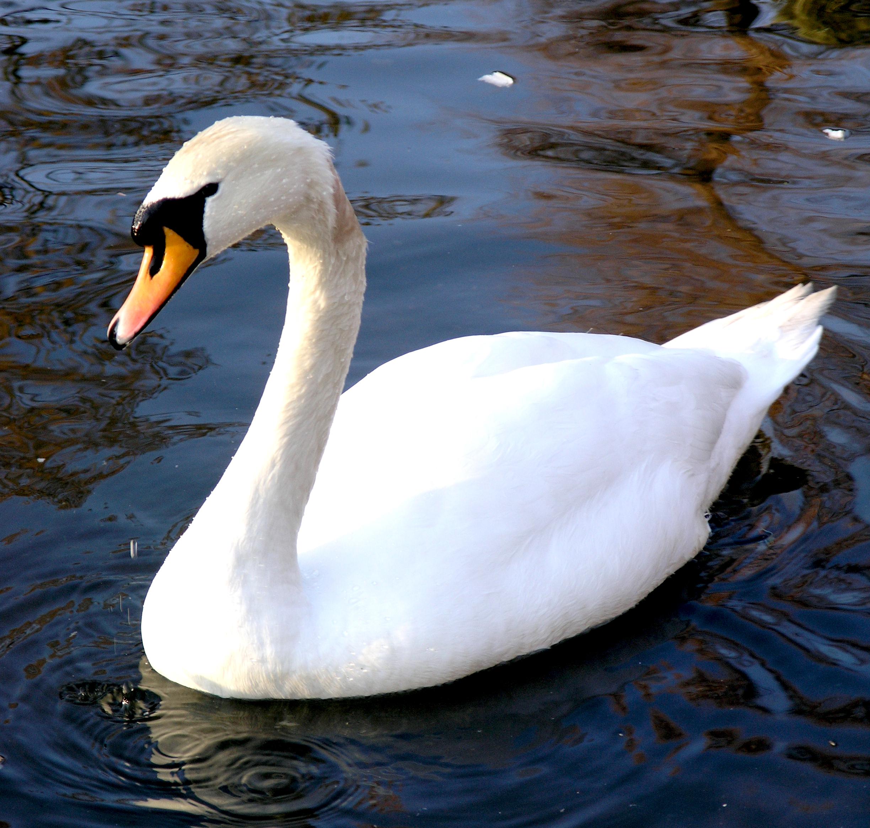 Lord_Biro_-_Swan_1_(by-sa).jpg