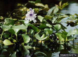 water_hyacinth.jpg