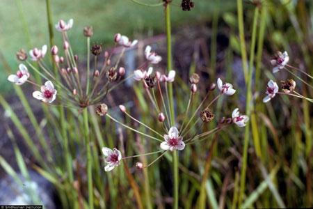 floweringrush.jpg