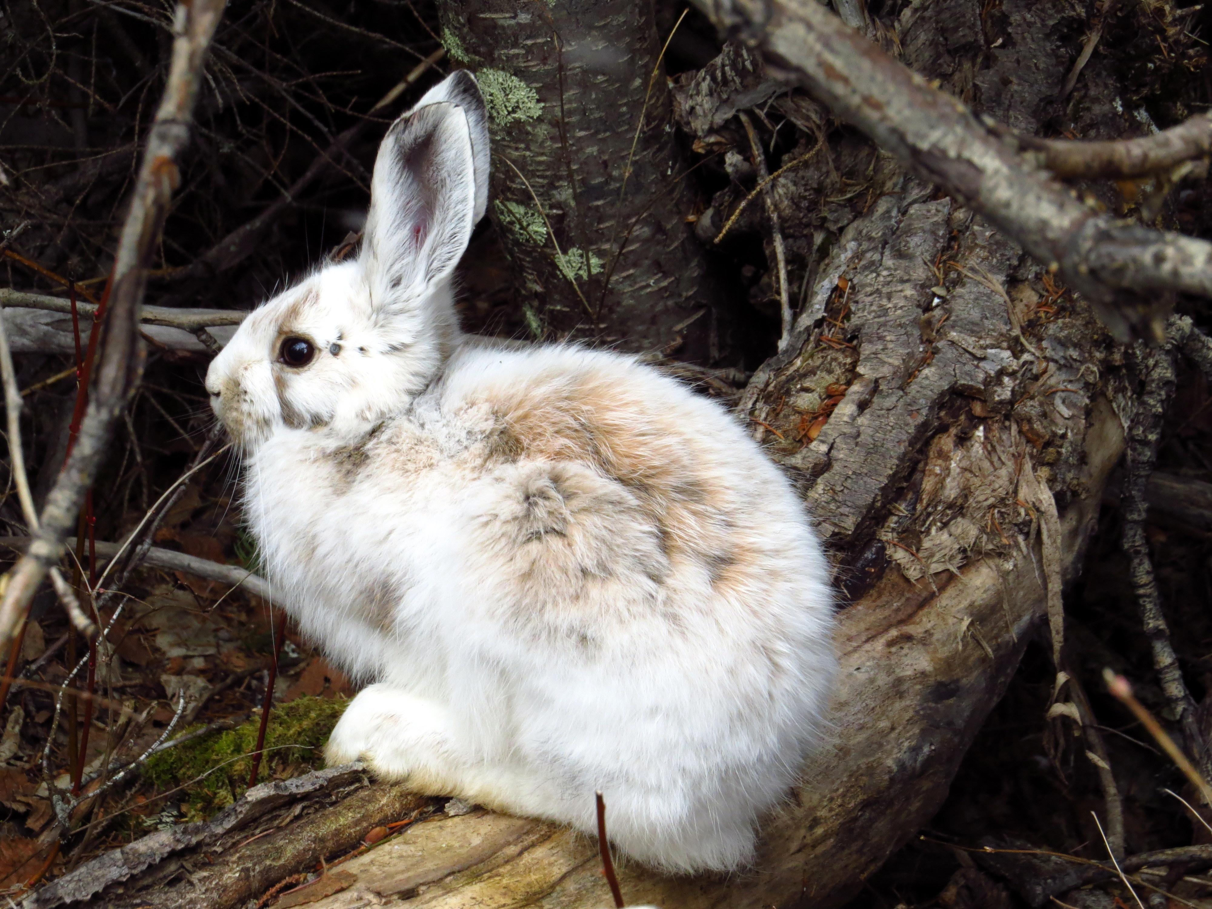 snowshoe_hare_Lepus_americanus_molting_041613_BL.JPG