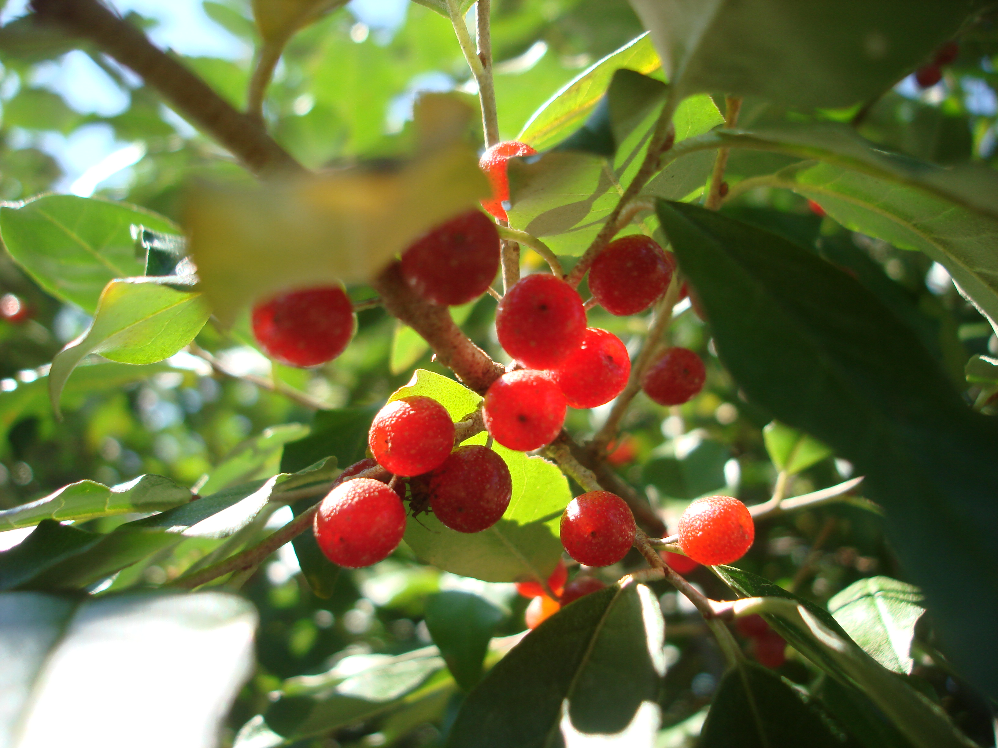 Elaeagnus_umbellata_berries_(1).jpg