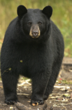 Bear_DNR.png