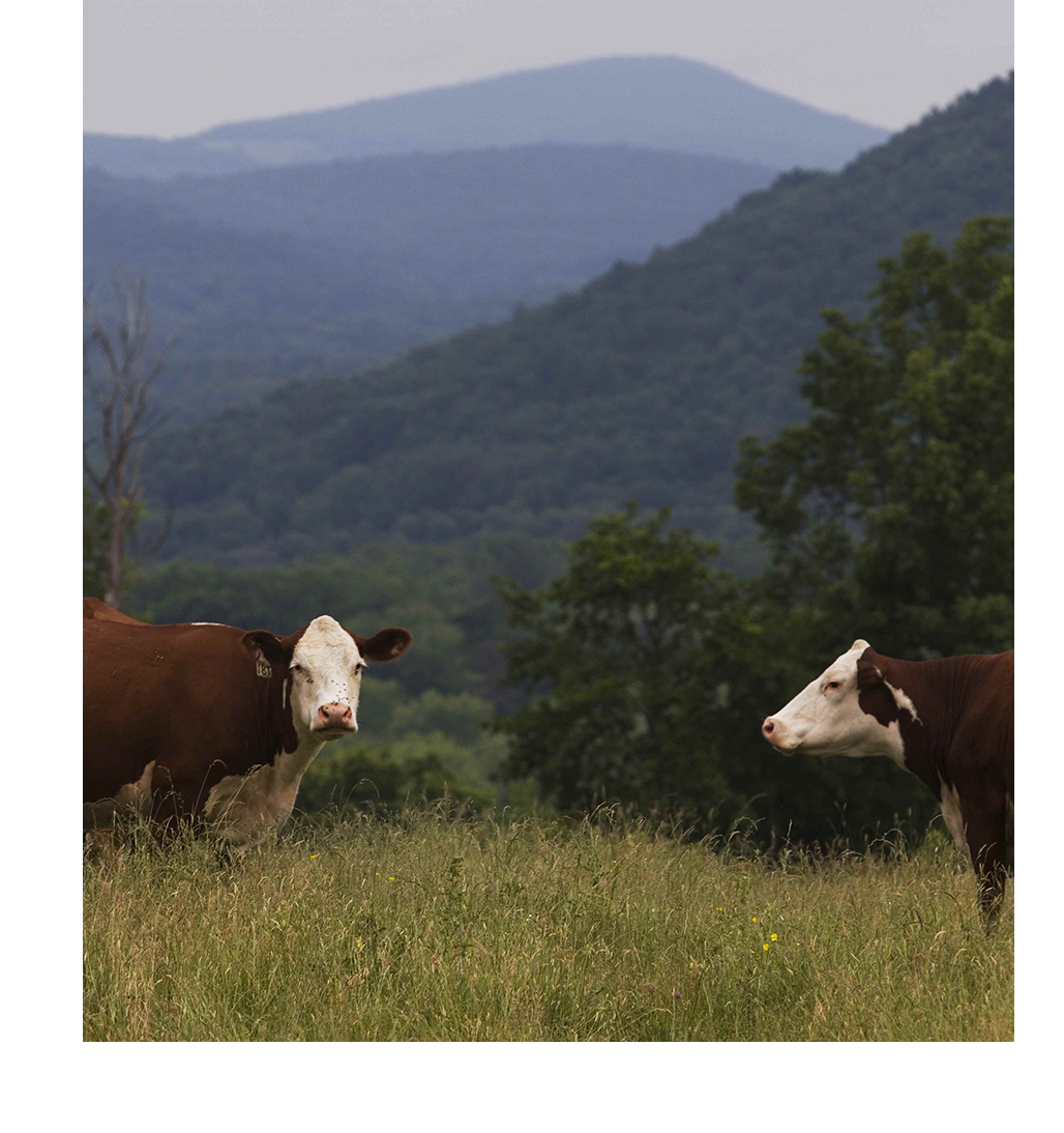 cows_2.png